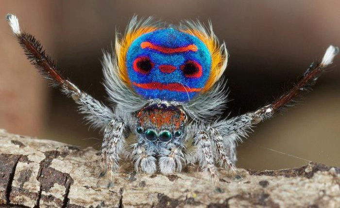 the australian peackok spider