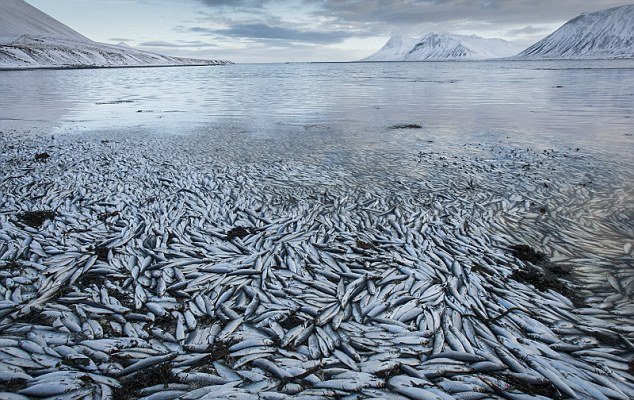apocalyptical view of dead Herrings - Iceland massive fish die-off
