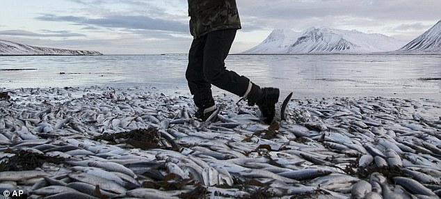 fermenting herrings in Iceland - Iceland massive fish die-off