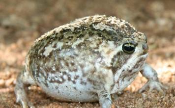 desert rain frog, desert rain frog photo, desert rain frog picture, desert rain frog cry, desert rain frog sound, The defensive cry of the desert rain frog is heartbreaking!