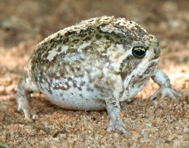 desert rain frog, desert rain frog photo, desert rain frog picture, desert rain frog cry, desert rain frog sound, The defensive cry of the desert rain frog is heartbreaking!