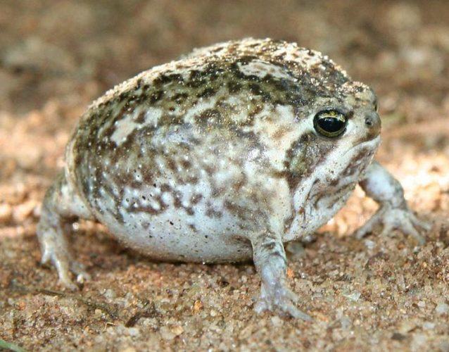 Desert rain frog defensive cry is heartbreaking (video) - Strange Sounds