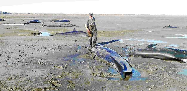 pod of false killer whales stranded in southern chile