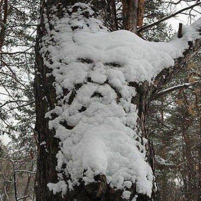 oldman in snow, picture of old man in snow, virtual image on tree, tree spirittree spirit, tree spirit in snow, the tree spirit appears in snow, tree spirit picture, snow sculpture picture