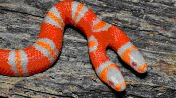 Medusa, the two-headed albino snake from Honduras... Amazing nature. Photo: Youtube, the two headed albino snake, two headed albino snake, medusa:two headed albino snake, two-headed Albino Honduran Milk Snake, two-headed Albino Honduran Milk Snake photo, photo of two-headed Albino Honduran Milk Snake, two-headed Albino Honduran Milk Snake picture, two-headed Albino Honduran Milk Snake video, strange snake photo, strange snake video, snake with two heads, snake with two faces