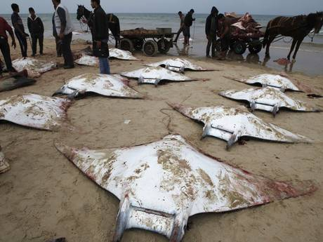 death of dozen of mobula rays in Gaza, Palestina