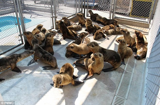 sea lion pups stranding in south california march 2013