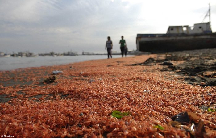 who is responsible for the shrimp die-off in Coronel chile march 2013