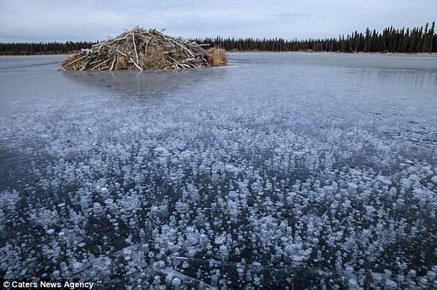 methane bubbles on frozen lake