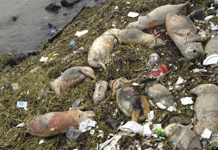hundred of dead pigs floating in chinese river, shanghai, march 2013