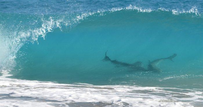 shark swarms, shark migration along florida coast, warning shark, sharks close florida beaches, sharks, empty florida beach because of sharks, sharks near coast of Florida, florida coast sharks, sharks empty florida beach, florida shark beach, march 2013