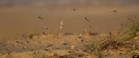 swarm of locusts devours agriculture in Egypt and Middle East