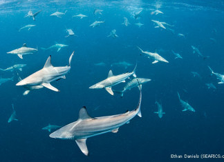 shark migration florida photo and video