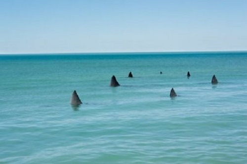Picture Of The Day Thousands Swarming Sharks Empty Florida Beaches March 08 2013