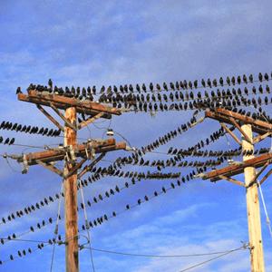 black bird control program loud booms owensboro kentucky 2013