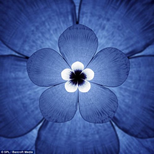 Five-petalled: The sounds of the white beaked dolphin (Lagenorhynchus albirostris) create this beautiful blue flower graph