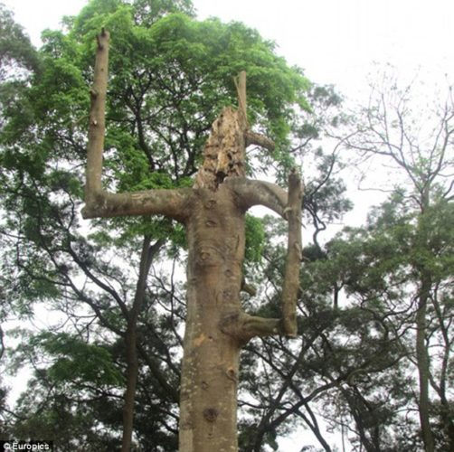 ancient tree in china creates mysterious happenings april 2013