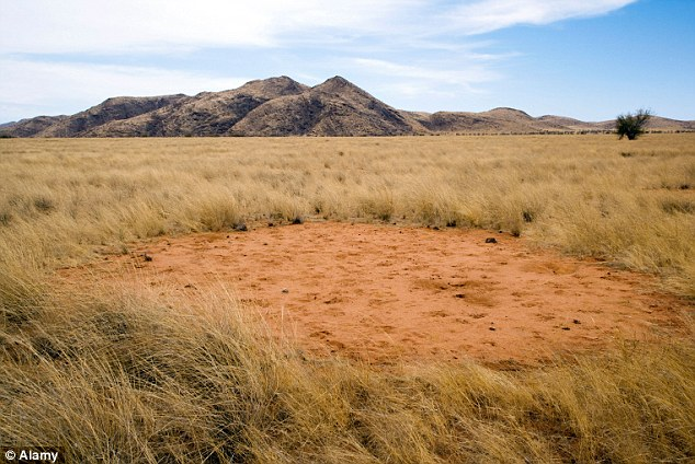 termite responsible for fairy circles in namid desert