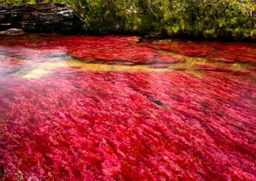 the most beautiful river in the world cano cristales colombia, cano cristales mystic river in columbia la macarena, cano cristales, cano cristales river, cano cristales river colombia, cano cristales colombia, the river of fivecolors, Caño Cristales, 'the river that ran away to paradise', 'The River Of Five Colors', 'The Most Beautiful River In The World', colored river in Macarena Mountains Columbia