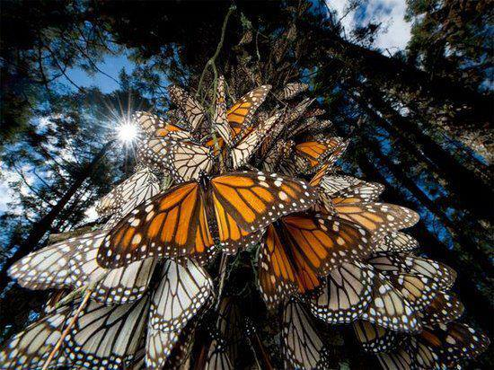 Monarch, Monarch Butterflies,  Monarch Butterflies migration, Monarch Butterflies migration video, Monarch Butterflies journey, The Monarch Butterflies on a tree at Point Pelley, the monarchs, monarch, monarch butterflies, point pelley monarch butterflies, monarch video, monarch migration, monarch migration video