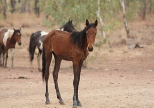 starving wild horses in Australian outbacks may 2013