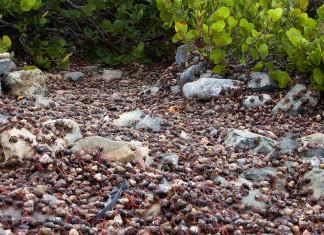 Hermit (Soldier) Crab migration, Hermit (Soldier) Crab migration Nanny Point, St. John U.S. Virgin Islands