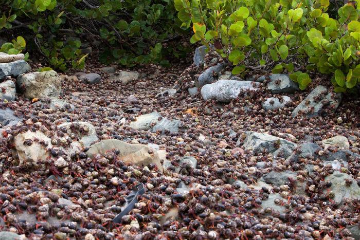 hermit crab migration, hermit crab migration video, hermit crab migration photo, hermit crab migration photo and video, Hermit (Soldier) Crab migration, Hermit (Soldier) Crab migration Nanny Point, St. John U.S. Virgin Islands