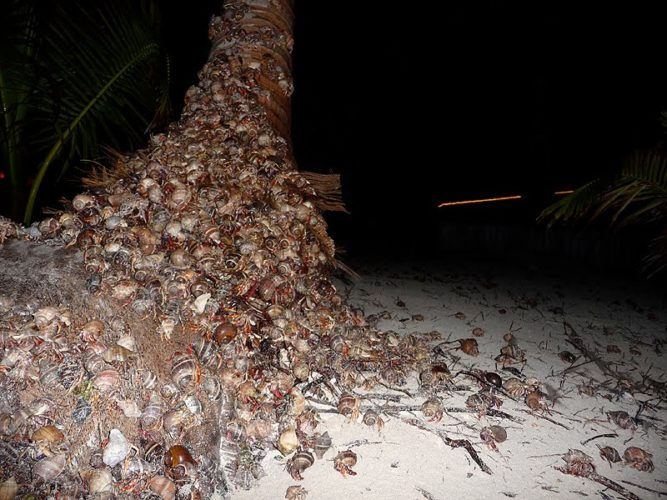 Hermit Crabs migration in caribic islands
