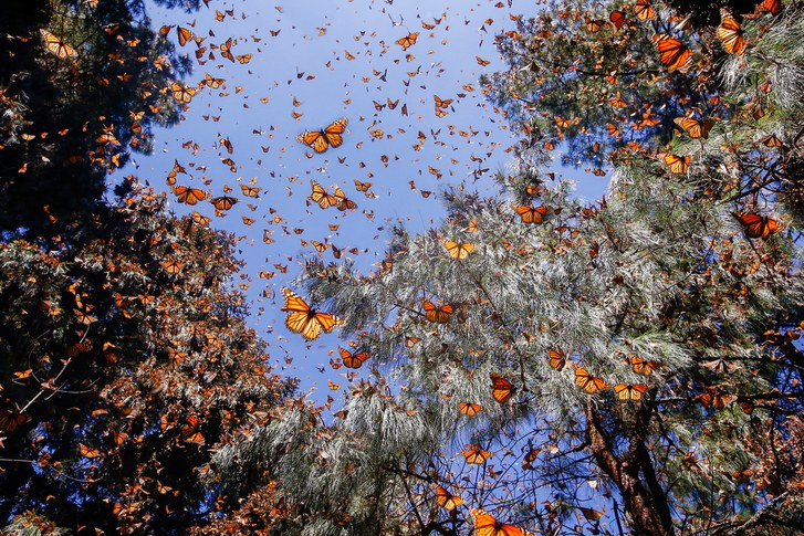 monarch butterfly, monarch butterfly migration, monarch butterflies sanctuary, monarch butterflies remember mountain