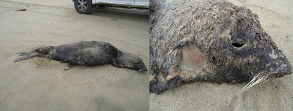 chile mass die-off and dead animals may 2013 punta de Choros, Mass die-off in Chile may 2013: Sea lions, cormorants and humbolt penguins found dead, mass die-off, mystery mass die-off, animal mass die-off, mass die-off punta de choros chile may 2013, blast fishing punta de choros chile may 2013, blast kills thousand of sea animals in chile may 2013, die-off chile may 2013, incredible die-off may 2013 chile, chile mass die-off may 2013, die-off, penguins die-off chile may 2013, sea lion die-off chile may 2013, cormorant die-off may 2013, mass die-off humbot penguins may 2013 chile