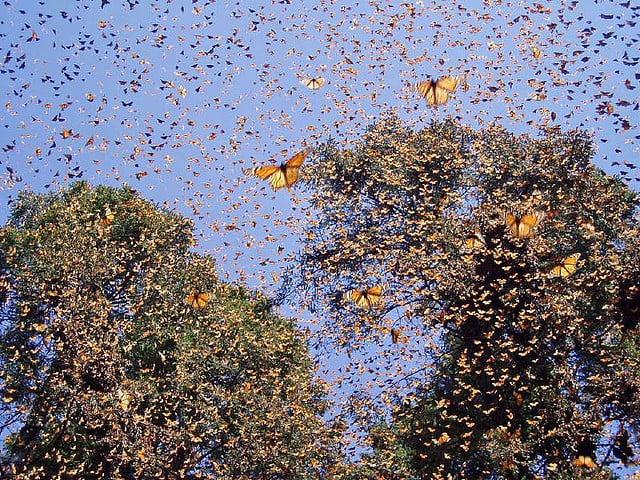monarch butterfly migration, monarch butterfly, monarch migration, butterfly migration, when do monarch start migration?, where do monarch migrate, most amazing animal migration, most amazing butterfly migration, great monarch butterfly video, best monarch video, monarch butterfly video