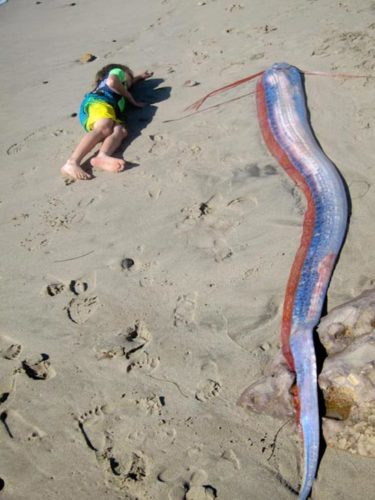 malibu giant oarfish, oarfish, oarfish video, first oarfish video, oarfish photo, aorfish picture, sea serpent, mysterious oarfish, weird oarfish, giant oarfish caught on video, oarfish,  oarfish video, oarfish deeo sea monster, sea serpent, oarfish sea serpent, Giant oarfish bermuda beach 1860 giant oarfish caught on video,