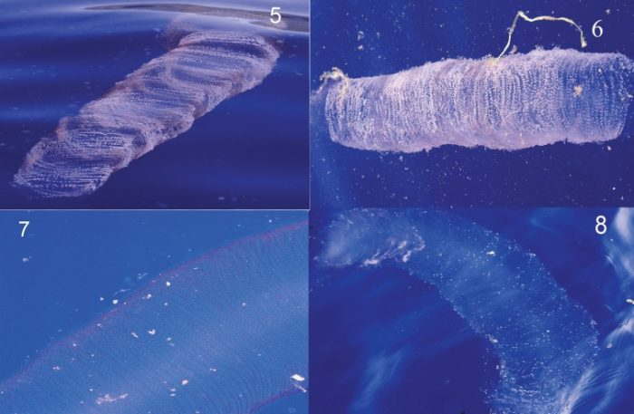mysterious blob in cuba are sqid eggs, giant blob found off cuba june 2013, suid eggs blob, blob of squid eggs, how do squid eggs blob look like, squid eggs mass in water