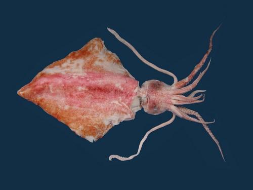 diamond squid egg forms blob off the coast of cuba june 2013, mysterious blob in cuba are sqid eggs, giant blob found off cuba june 2013, suid eggs blob, blob of squid eggs, how do squid eggs blob look like, squid eggs mass in water, diamond-shaped squid: Thysanoteuthis rhombus