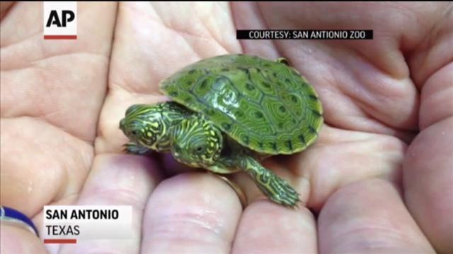 turtle 'thelma and louise' san antonio texas, thelma and louise two-headed turtle san antonia zoo june 2013