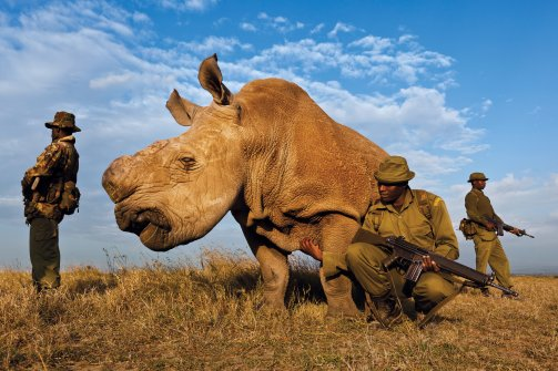 A rhino without horns in Mozambique