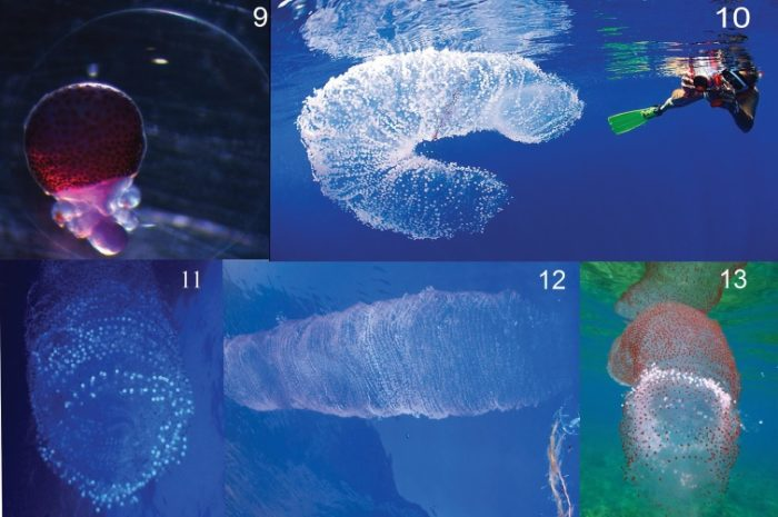diamond squid egg forms blob off the coast of cuba june 2013, mysterious blob in cuba are sqid eggs, giant blob found off cuba june 2013, suid eggs blob, blob of squid eggs, how do squid eggs blob look like, squid eggs mass in water