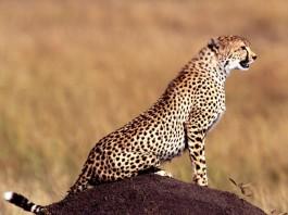 cheetah, cheetak photo, cheetah picture, cheetah sound, Cheetah photo, cheetah, cheetah image, guépard, photo de guépard, guepard, guepard photo, guepard foto, guepard sound, cheetah sounds, cheetah noises, how do cheetah sounds like?, cute cheetah sounds, cute cheetah vocals, cheetah noises, cheetah in oragon talk to each other, can animal talk?, animal talk, animal song, animal talk video, animal song video, cheetah sound video, guepard geräusch video, video guepard, son de guépard, son de cheetah
