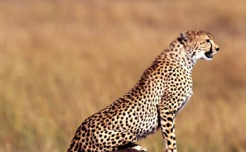 cheetah, cheetak photo, cheetah picture, cheetah sound, Cheetah photo, cheetah, cheetah image, guépard, photo de guépard, guepard, guepard photo, guepard foto, guepard sound, cheetah sounds, cheetah noises, how do cheetah sounds like?, cute cheetah sounds, cute cheetah vocals, cheetah noises, cheetah in oragon talk to each other, can animal talk?, animal talk, animal song, animal talk video, animal song video, cheetah sound video, guepard geräusch video, video guepard, son de guépard, son de cheetah