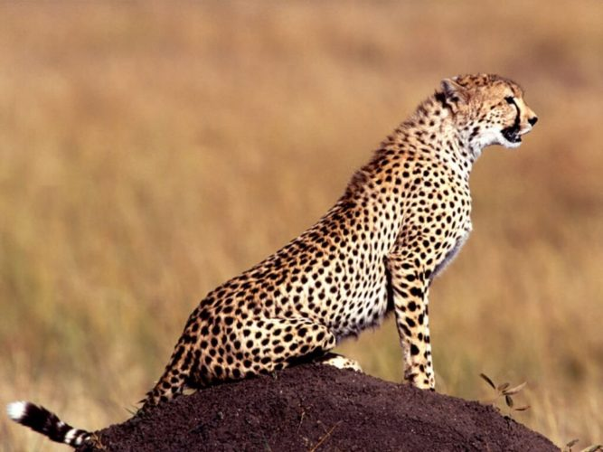 Imagen De Un Like: Cheetah Sounds Like Talk, Chirp And Meow To Communicate