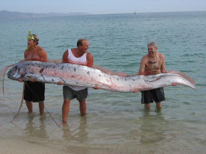 rare Oarfish baja california 2007