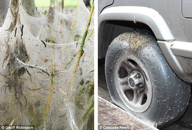 caterpillar plague in Hampton London june 2013