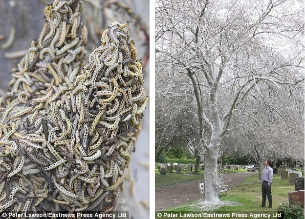 caterpillar plague in essex cemetery june 2013