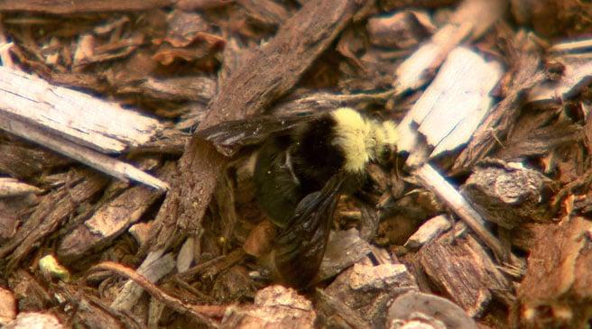 bee mass die-off in Wilsonville oregon june 2013, dead bee in oregon june 2013
