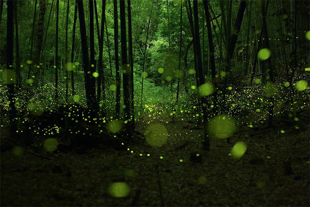 fireflies pictures, haunting firefly picture, pictures of fireflies, Eerie pictures of fireflies in the Forests of Nagoya, Look at these magical and eerie long exposure pictures of fireflies in the forests of Nagoya City Japan. As if the trees were full of fairies or yellow orbs, fireflies pictures, haunting firefly picture, pictures of fireflies
