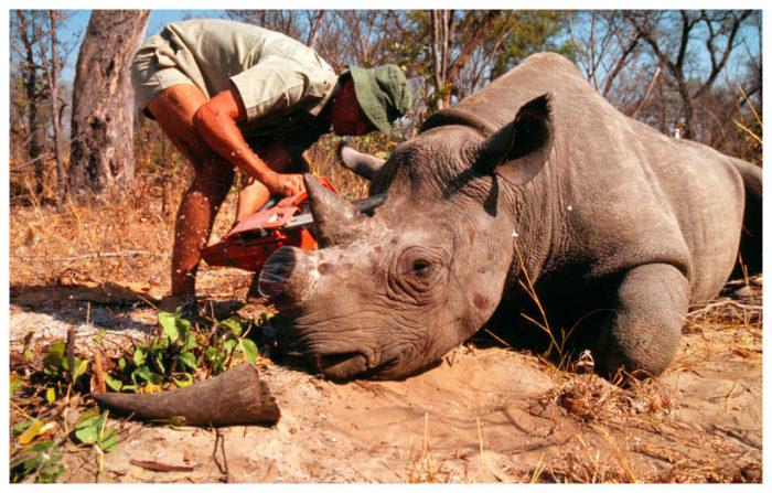 Rhinoceros dehorning with chainsaw, Rhinoceros dehorning