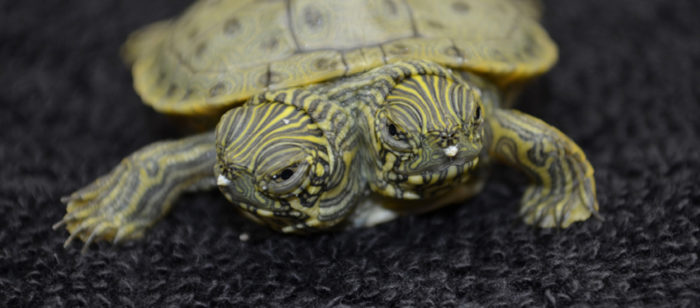 thelma and louise two-headed turtle san antonia zoo june 2013, turtle 'thelma and louise' san antonio texas