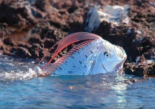 First video of mysterious oarfish - Deep-sea fish - Strange