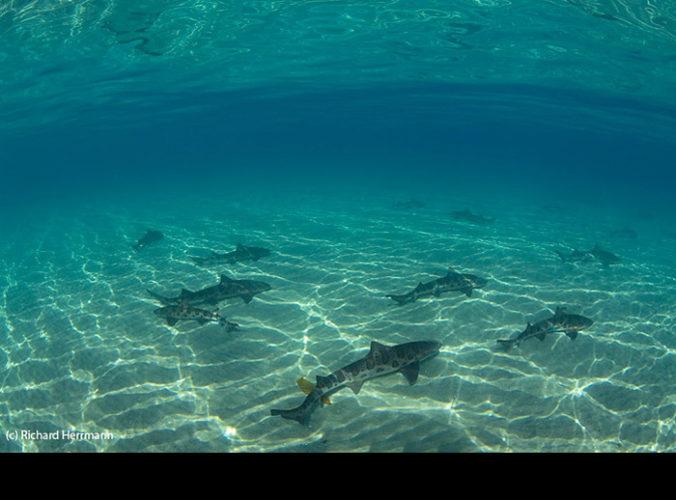 leopard shark at la jolla california