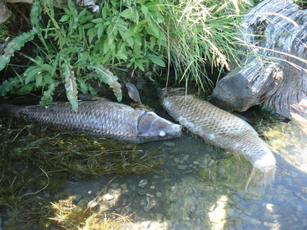 mysterious fish die-off at Holter Reservoir